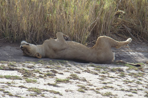 Lion resting in amboseli