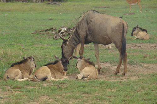 Wildebeest_family amboseli