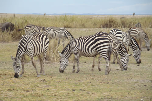 Zebra amboseli