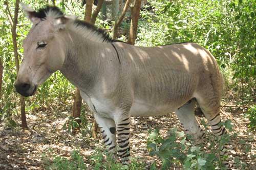 Zedonk zebra donkey