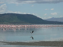 Flamingo i Lake Nakuru