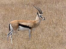 Thomson Gazelle i Masai Mara