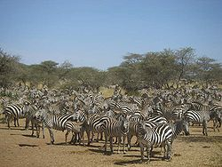 Zebraer i Serengeti
