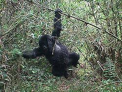 bjerg-gorilla