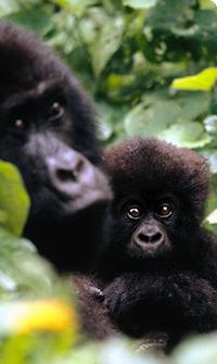 Bjerg Gorilla i DR Congo