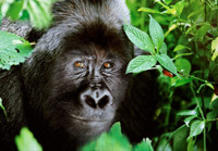 Bjerg Gorilla