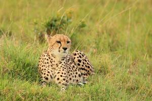 cheetah i koiyaki