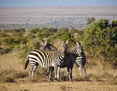 kenya laikipia zebra